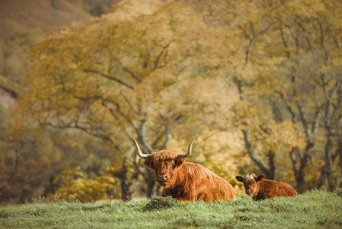 visitscotland Highland cows GALLERY-min