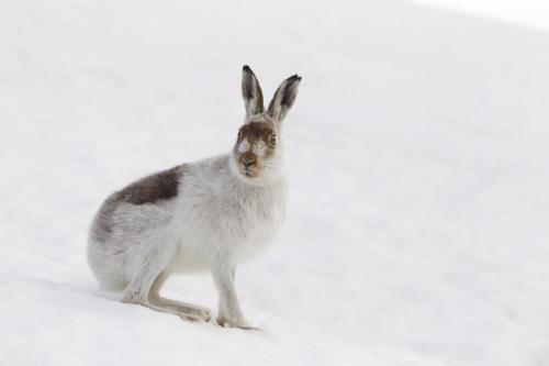 Mark Hamblin Mountain hare