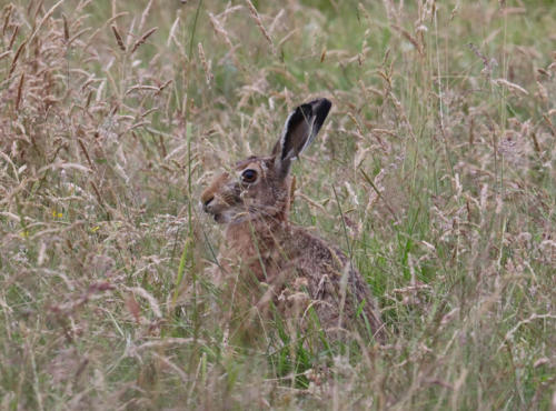 brown hare 1 c Steve Smith